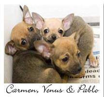 3 Chihuahuas