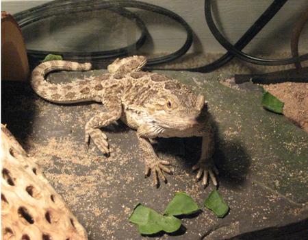 Spike, the Bearded Dragon