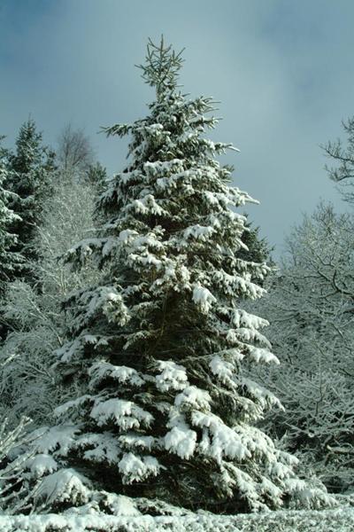 snow_tree